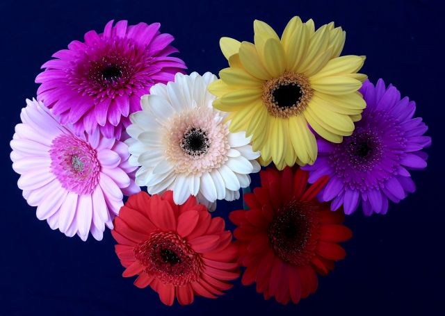 Rainbow Mini Gerberas